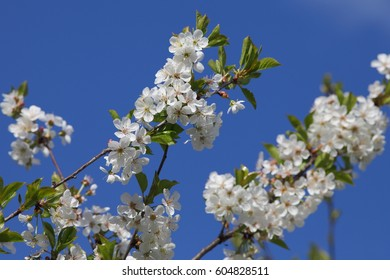 Cherry blooming tree on blue sky background.