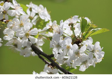 Cherry blooming tree on green grass background.