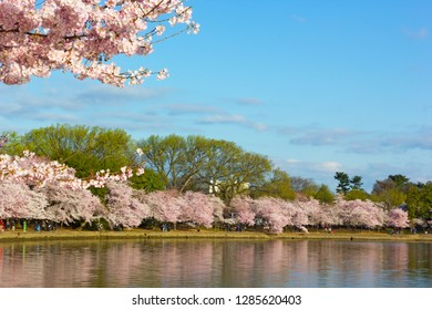 Cherry blossom abundance around Tidal Basin on early morning. Blossoming cherry trees at its peak in Washington DC, USA.