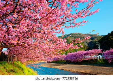Cherry Blossom along Kawazu River, Izu, Japan