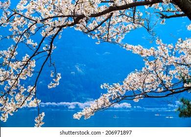 Cherry blossom in Arashiyama, Kyoto, Japan. Japanese view