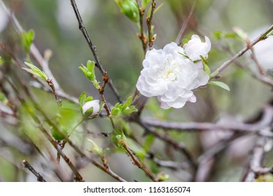 Cherry blossom background, this is a typical flower of northern Vietnam in the spring. The flowers bloom during the days of the New Year and bring luck to people.