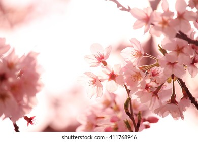 Cherry Blossom, Backlight