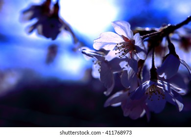 Cherry Blossom, Backlight