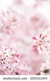 Cherry blossom with beautiful flower bud and young booming flowers. bokeh background. Shallow depth of field for dreamy feel.