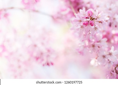 Cherry blossom with beautiful flower bud and young booming flowers. Soft bokeh background. Shallow depth of field for dreamy feel.