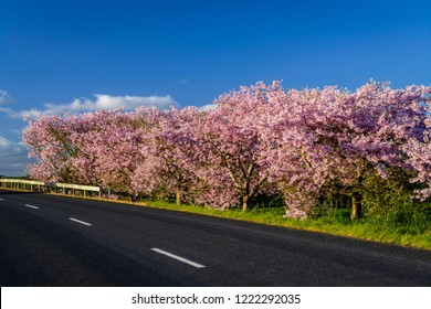 Cherry Blossom beside the empty rural highway during early spring in Waikato, New Zealand