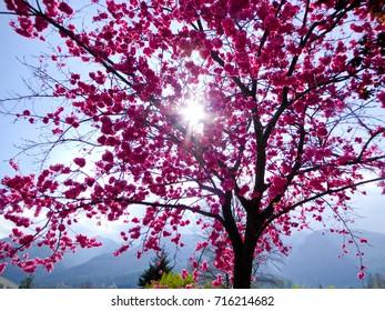 Cherry blossom blooming inside Dali University in Dali city Yunnan province China.