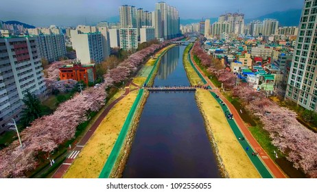 Cherry Blossom Blooming Spring of Oncheoncheon Citizen Park, Dongraegu, Yeonjegu, Busan, South Korea, Asia when Mar-29-2018
