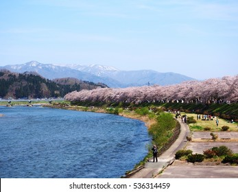Cherry blossom is blooming in the sunny day along the reverside of Kakunodate, Japan .