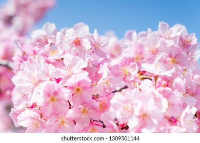 Cherry blossom in the blue sky.