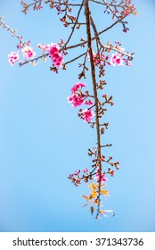 Cherry Blossom With Blue Sky Background In Chiang Mai