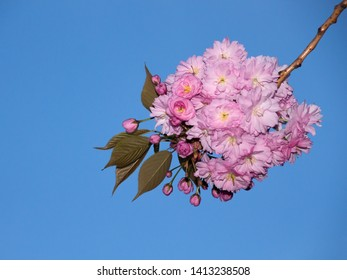 cherry blossom with blue sky as free space