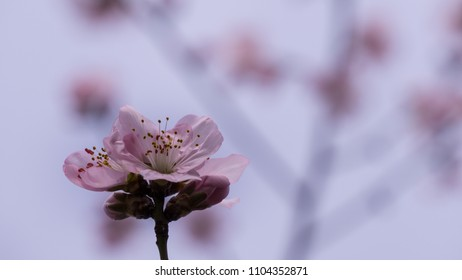 cherry blossom with blurred background