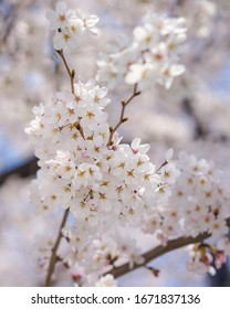 cherry blossom with bokeh background