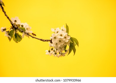 cherry blossom, branch with flowers