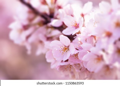Cherry blossom branch with multiple dark pink flower buds about to bloom. Intentionally shot with extremely shallow depth of field for dreamy feel.