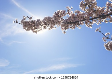 cherry blossom branch in the sky with room for content