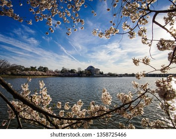 cherry blossom branches framing jefferson memorial