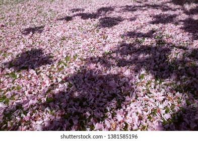 Cherry Blossom carpet, Jersey, U.K. Spent pink petals on the garden floor.