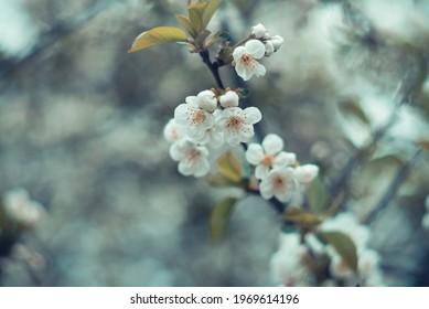 Cherry blossom closeup, soft focus. Springtime. Background, wallpaper. Spring. Helios lens