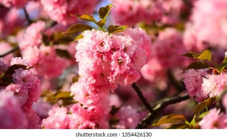 Cherry blossom. Copenhagen Sakura Festival. Sacura cherry-tree. Blossom tree over nature background. Spring flowers