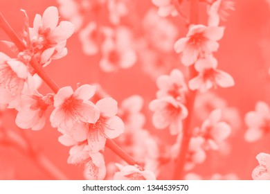 Cherry blossom in coral toned