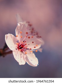 Cherry blossom with creamy pink background