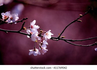 Cherry Blossom, deep purple
