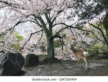 Cherry blossom with a Deer at Nara Park