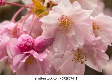 Cherry blossom with dew drops/ Cherry blossom/ Macro
