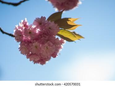 cherry blossom eclipse