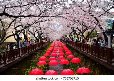 cherry blossom festival in jinhae city korea: 3 april 2016 jinhae korea
