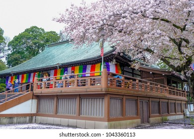 Cherry Blossom Festival at Kita-in Temple,Kosenbamachi,Kawagoe,Saitama,Japan on April9,2017:Main hall and beautiful cherry trees with Sakurafubuki(cherry blossom blizzard)