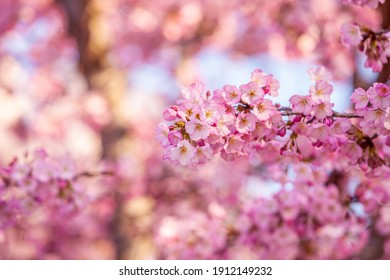 Cherry Blossom Festival, Washington, D.C. in USA