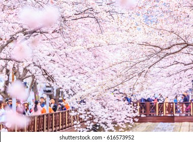 Cherry blossom festival at Yeojwacheon Stream, Jinhae Gunhangje festival, Jinhae, South Korea.