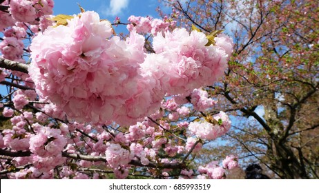 A cherry blossom is the flower of any of several trees of genus Prunus, particularly the Japanese cherry