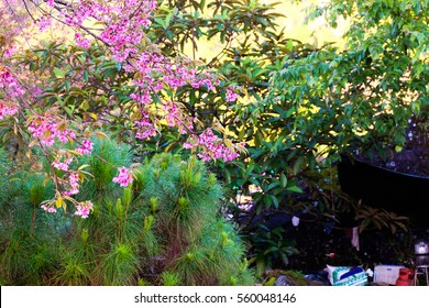Cherry blossom flower blooming