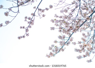 Cherry blossom flower (sakura) background texture