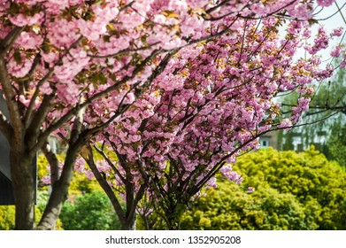 Cherry blossom is a flower of several trees of genus Prunus, particularly the Japanese cherry, Prunus serrulata, which is called sakura after the Japanese