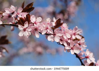 Cherry blossom flower tree with sunny blue sky background - Spring Summer