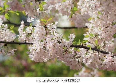 Cherry blossom flowers in garden at Japan Mint, Osaka,
