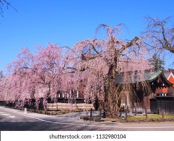 cherry blossom flowers Kakunodate Japan