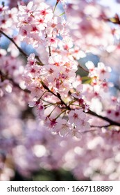 Cherry blossom flowers photography background