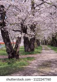 cherry blossom flowers sakura Kakunodate Akita Japan