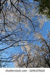 cherry blossom flowers in spring & blue sky