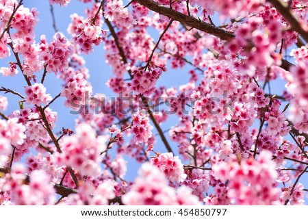 Cherry blossom flowers treesbranches present pastel stock photo cherry blossom flowers treesbranches present pastel light pink color which very sweet and mightylinksfo