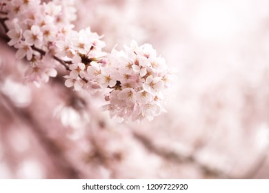 Cherry blossom in full bloom. Cherry flowers in small clusters on a cherry tree branch, fading in to white. Shallow depth of field. Focus on center flower cluster.