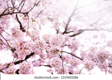 Cherry blossom in full bloom. Japanese cherry flowers in Warm March to April spring sunlight.