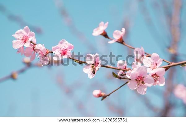 cherry blossom in the garden. beautiful flower.